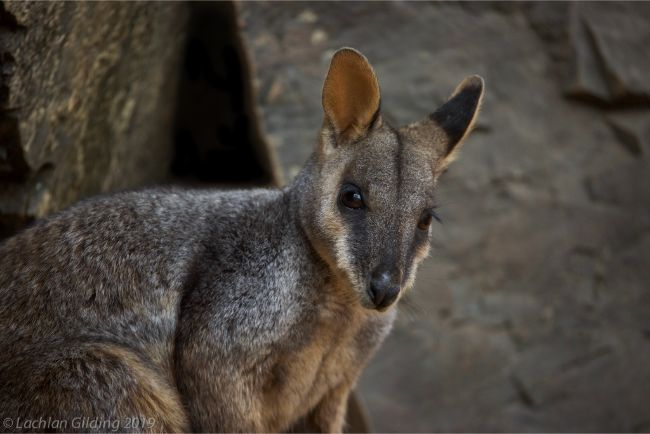 Brush-tailed_Rock-wallaby_-_Credit_Lachlan_Gilding_1.jpg